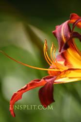 illuminated lily