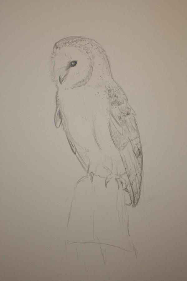 barn owl sketch by rileymai on DeviantArt