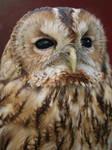 Pluisje my Tawny Owl