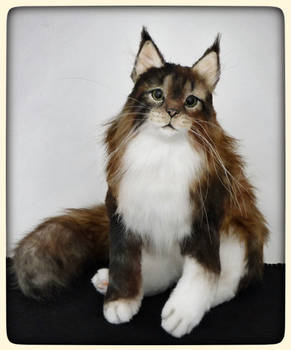 CIRCE the Maine coon cat