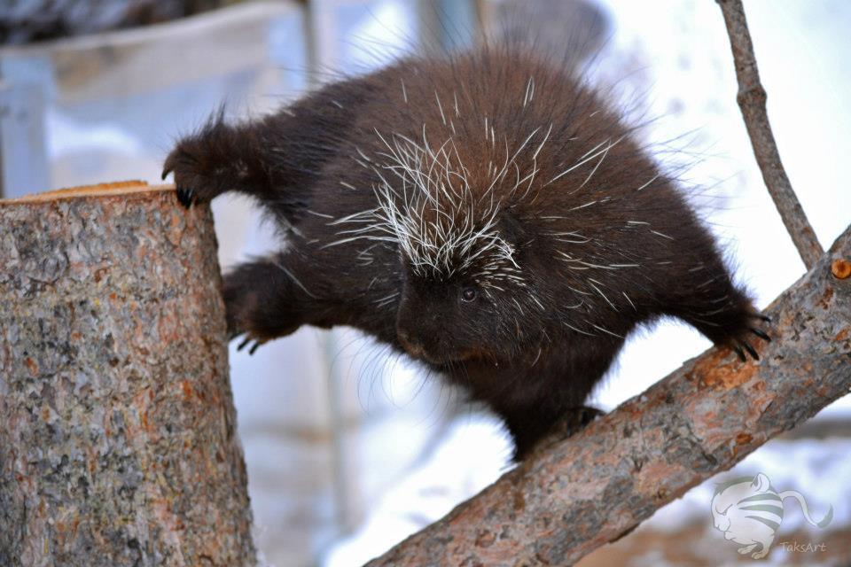 Dynamic Porcupine by TaksArtPhotos