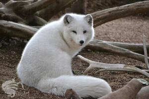 Arctic Fox, Glance Back by TaksArtPhotos