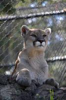 Puma Pose by TaksArtPhotos