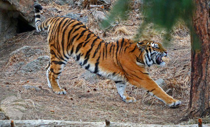 Amur Tiger- Stretch by TaksArtPhotos