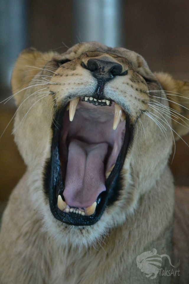 Lioness - Open Wide by TaksArtPhotos