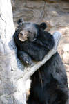 Asiatic Black Bear - Tree relaxing