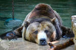 Grizzly Bear Pool