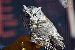 Screech Owl Back glance by TaksArtPhotos