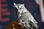 Screech Owl Back glance