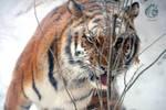 Amur Tiger Hide n Seek