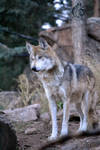 Mexican gray wolf Wait