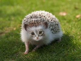 Hedgehog-Kitten