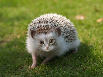 Hedgehog-Kitten by nameless-aries