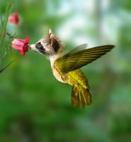 Raccoon-Hummingbird
