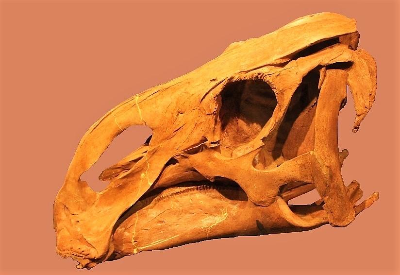Brachylophosaurus Skull Stock