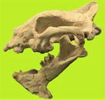 Hoplophoeneus mentalis Skull Stock
