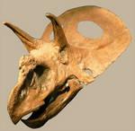 Torosaurus Skull Stock