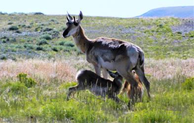 Pronghorn Mother Nursing Twins