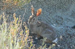 Clueless Bunny