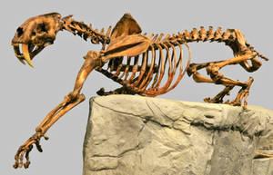 Smilodon  fatalis Skeleton Stock by LEXLOTHOR