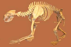 Arctodus simus Skeleton stock by LEXLOTHOR