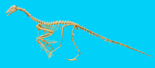 Archeopteryx skeletal reconstruction stock