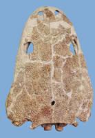 Koskinonodon perfectus Skull stock