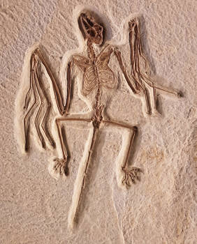 Onychonycteris finneyi skeleton