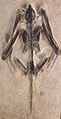 Icaronycteris index skeleton cast