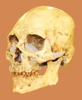 Kennewick Man Skull Cast stock
