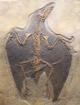 Confuciusornis skeleton