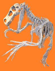 Utahraptor ostrommaysi Skeleton stock