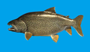 Lake Trout Model Stock