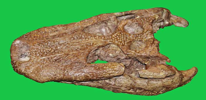 Alagnathosuchus Skull Stock