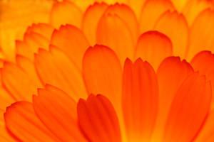 Orange petals by Grayda