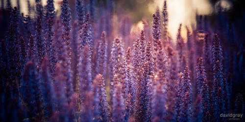 Purple by Grayda