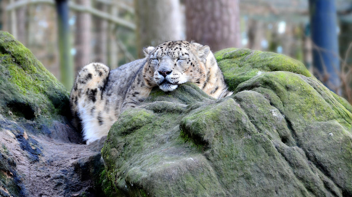 sleeping Snowleopard by n3087
