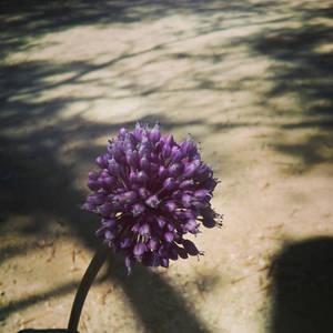 Wild flower by the beach