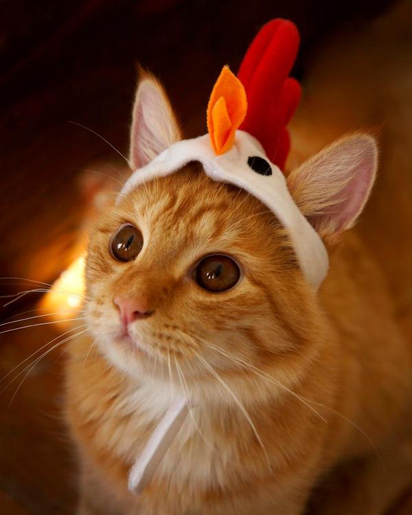 Chicken кот