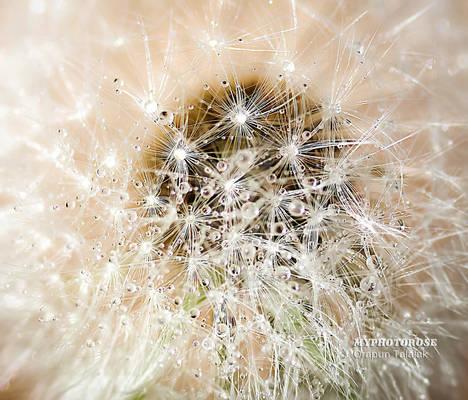 Droplet on the dandelion