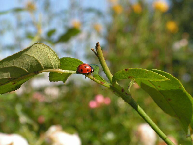 Ladybug by Wanderlouve