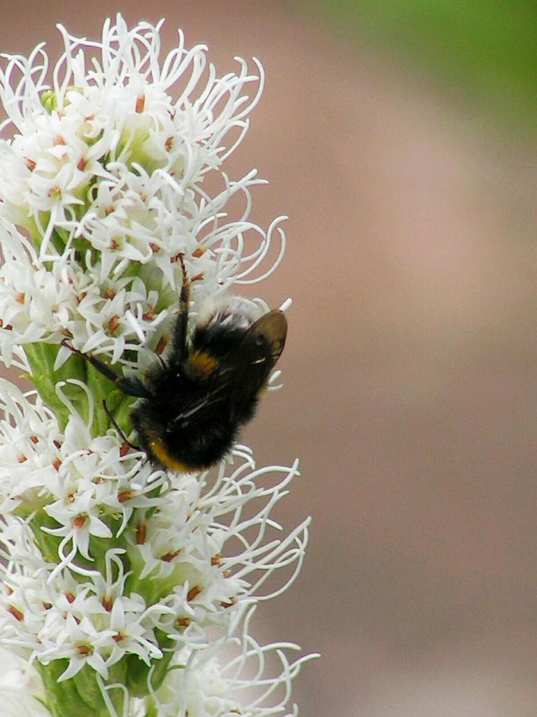Bumblebee by Wanderlouve