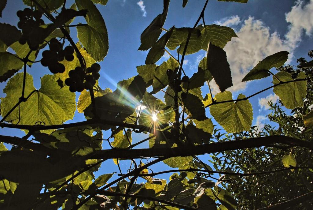 Grape full of sunshine by Wanderlouve