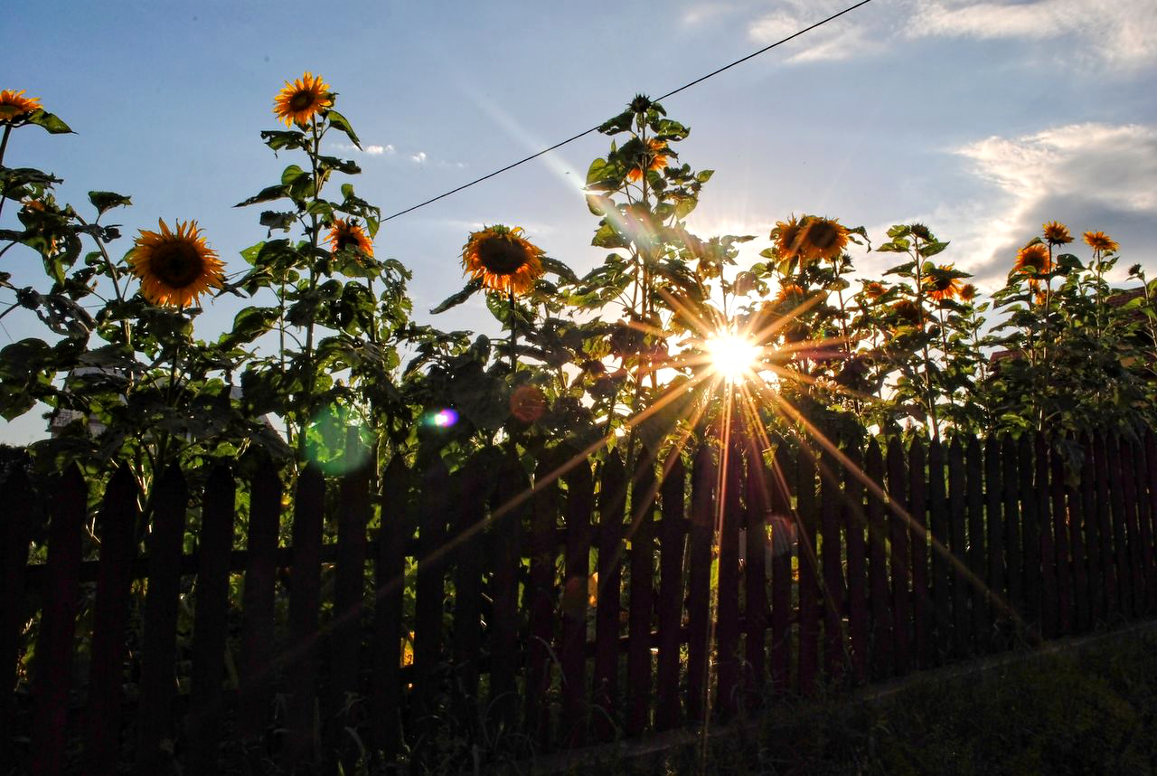 Sunny sunflowers by Wanderlouve