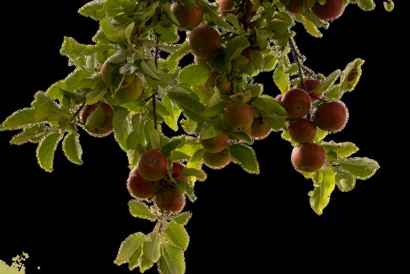 apple tree by cindysart-stock