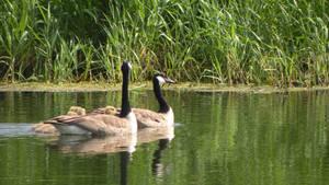 goose 12