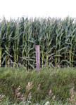 corn fence line