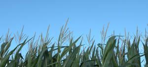 corn stalk - no clouds
