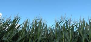 corn stalk 2 + clouds
