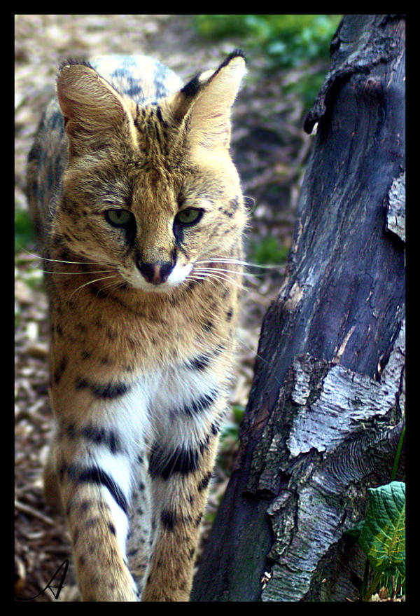 Serval by Alannah-Hawker